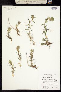 Castilleja viscidula image
