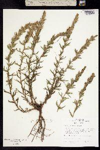 Image of Castilleja viscidula