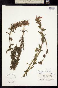 Image of Castilleja californica