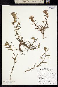 Image of Castilleja chlorotica