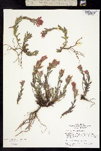 Image of Castilleja brevilobata