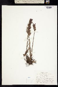 Castilleja lemmonii image