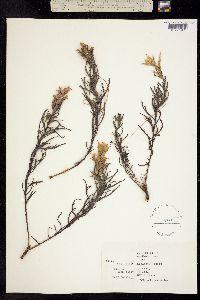 Image of Castilleja neglecta