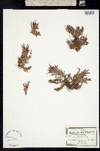 Castilleja moranensis image