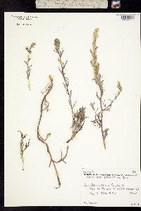 Image of Castilleja plagiotoma