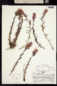 Image of Castilleja peirsonii