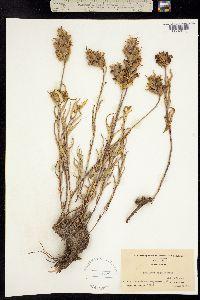 Image of Castilleja wyomingensis