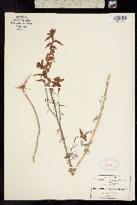 Castilleja tenuifolia image