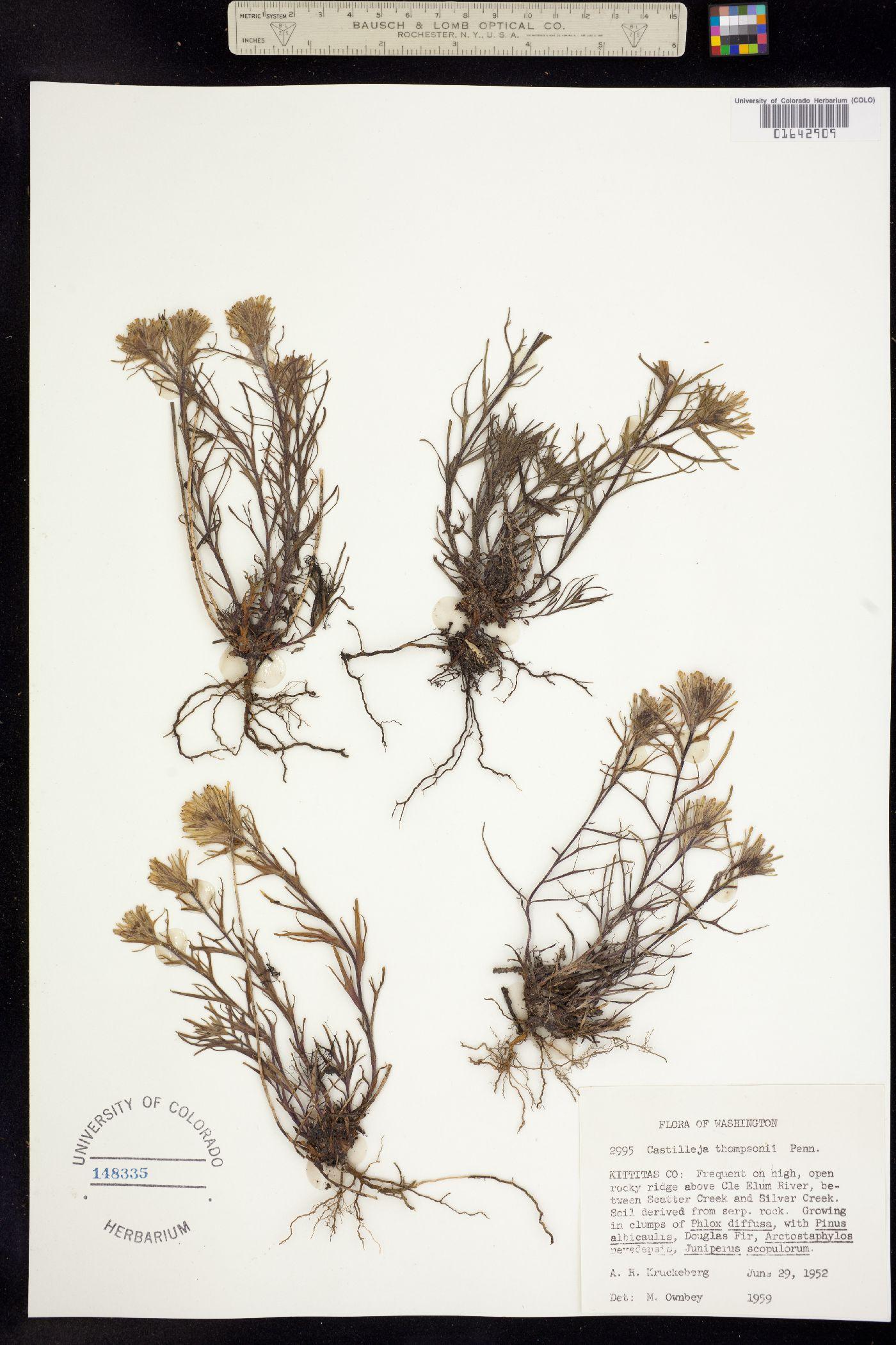 Castilleja thompsonii image