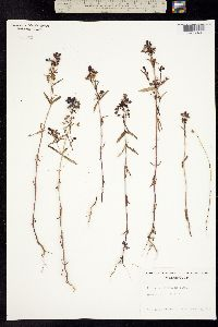 Collinsia grandiflora image