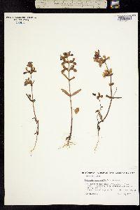 Collinsia heterophylla image
