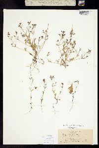 Image of Collinsia sparsiflora