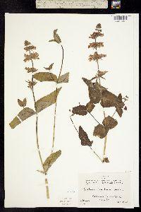 Collinsia tinctoria image