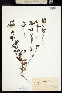 Image of Collinsia tinctoria
