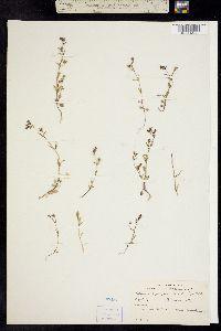 Collinsia sparsiflora image