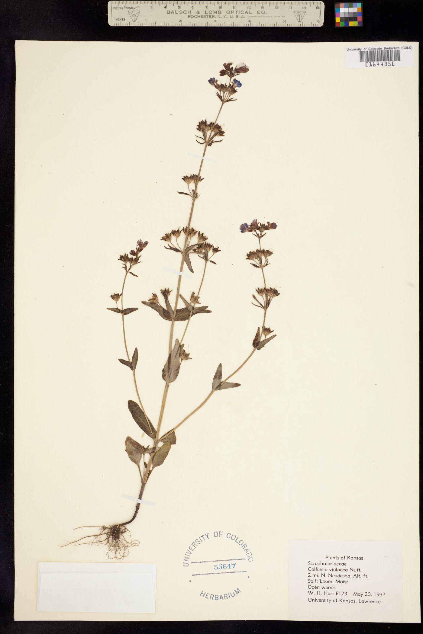 Collinsia violacea image