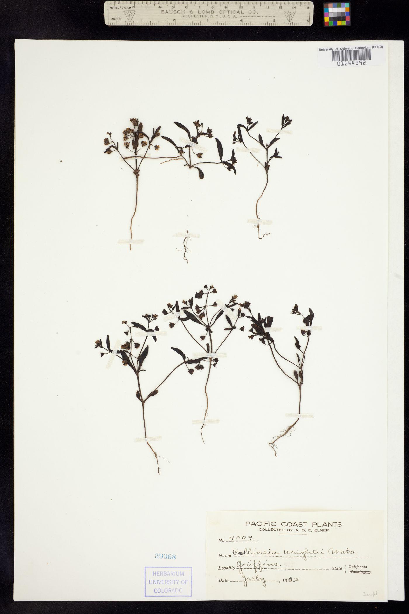 Collinsia wrightii image