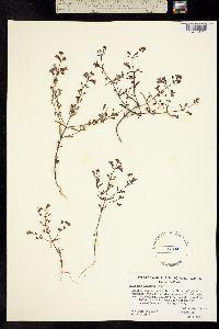 Collinsia linearis image