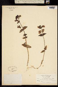 Collinsia multicolor image