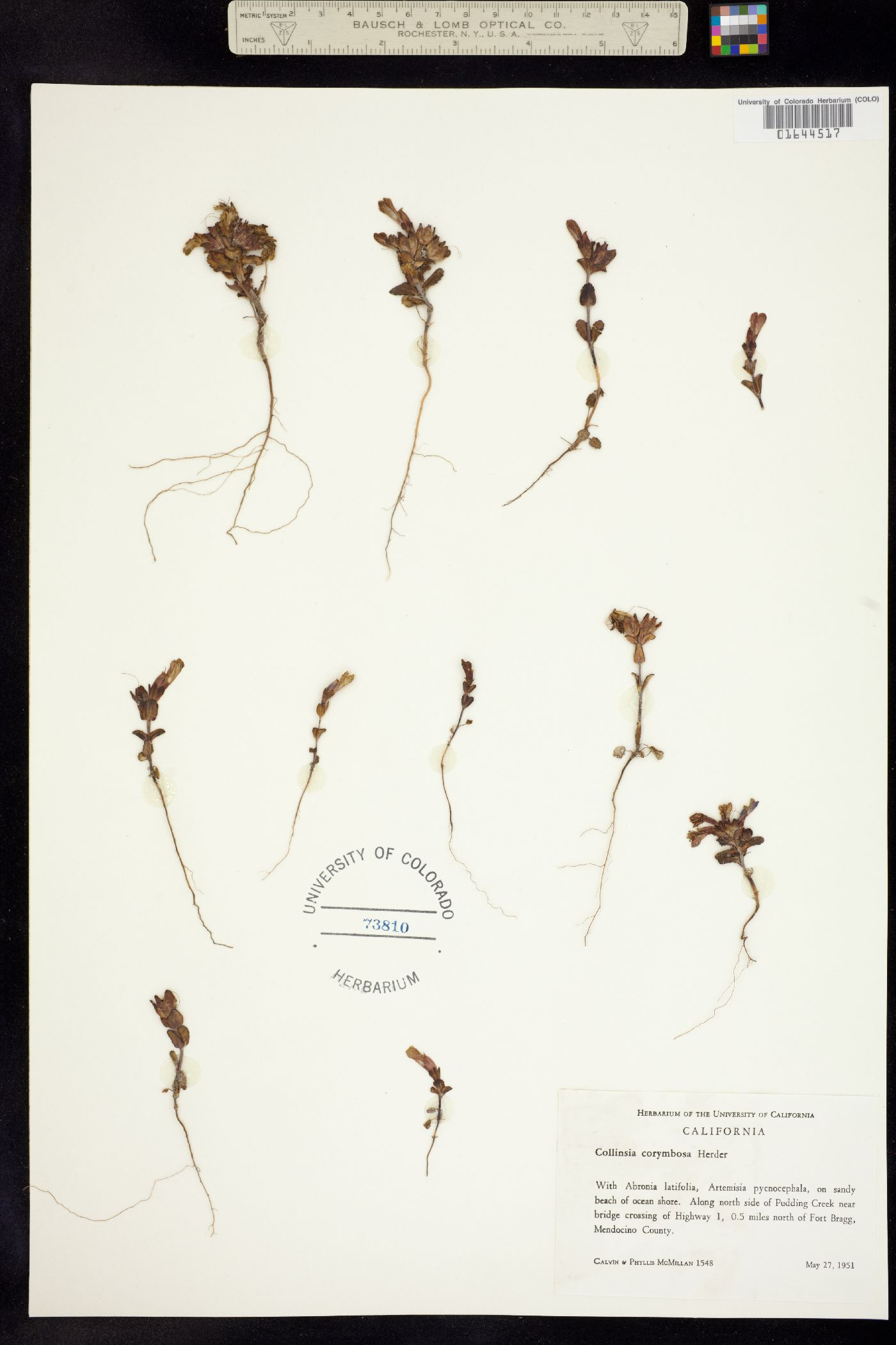 Collinsia corymbosa image