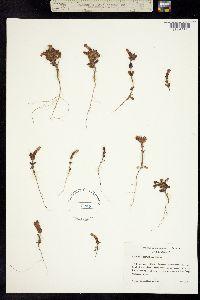 Image of Collinsia corymbosa