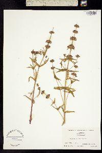 Collinsia concolor image