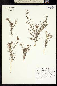 Cordylanthus kingii image