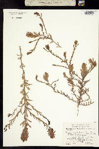 Cordylanthus maritimus image