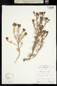 Cordylanthus orcuttianus image