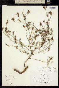 Cordylanthus pilosus image