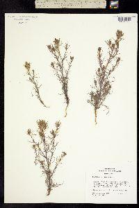Cordylanthus ramosus image