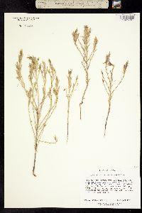 Image of Cordylanthus tecopensis