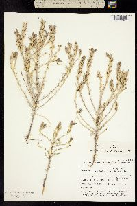 Cordylanthus tecopensis image
