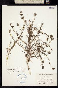 Cordylanthus tenuis image