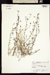Cordylanthus nevinii image