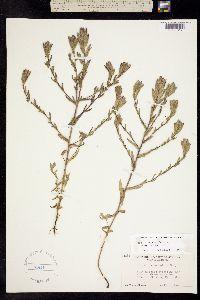 Image of Cordylanthus mollis