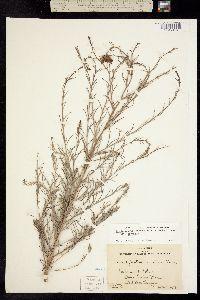 Image of Cordylanthus eremicus