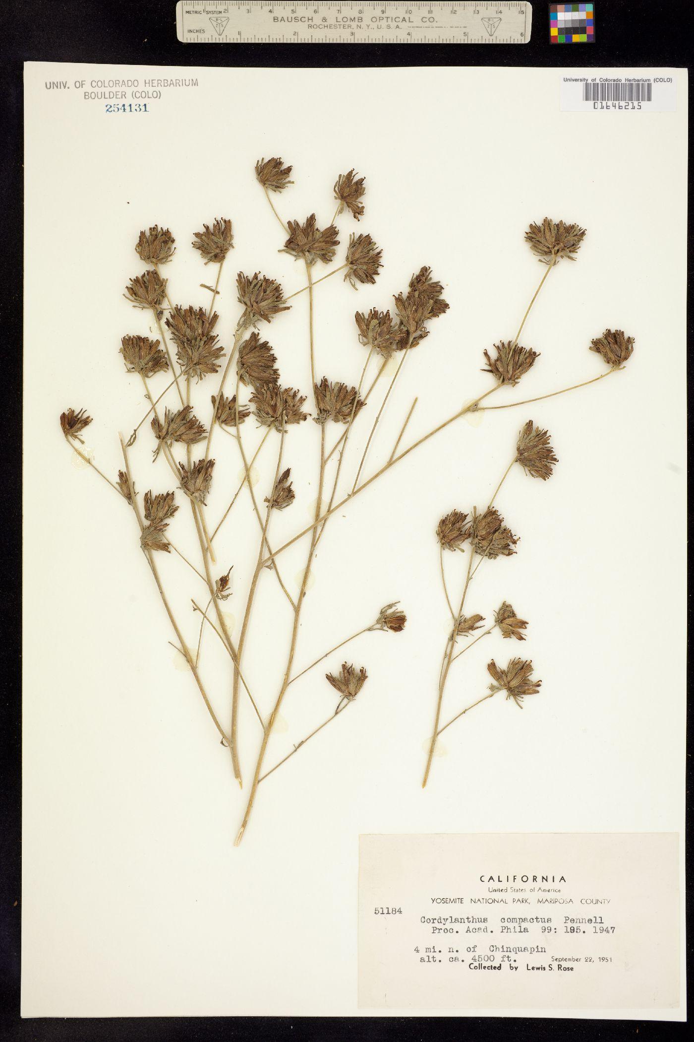 Cordylanthus compactus image