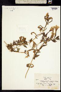Image of Mimulus bifidus