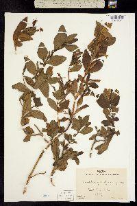 Image of Mimulus flemingii