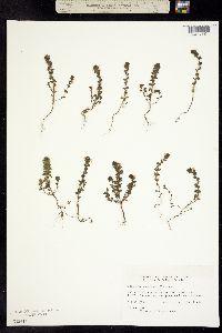 Euphrasia canadensis image