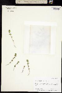 Image of Euphrasia mollis