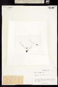 Image of Euphrasia oakesii