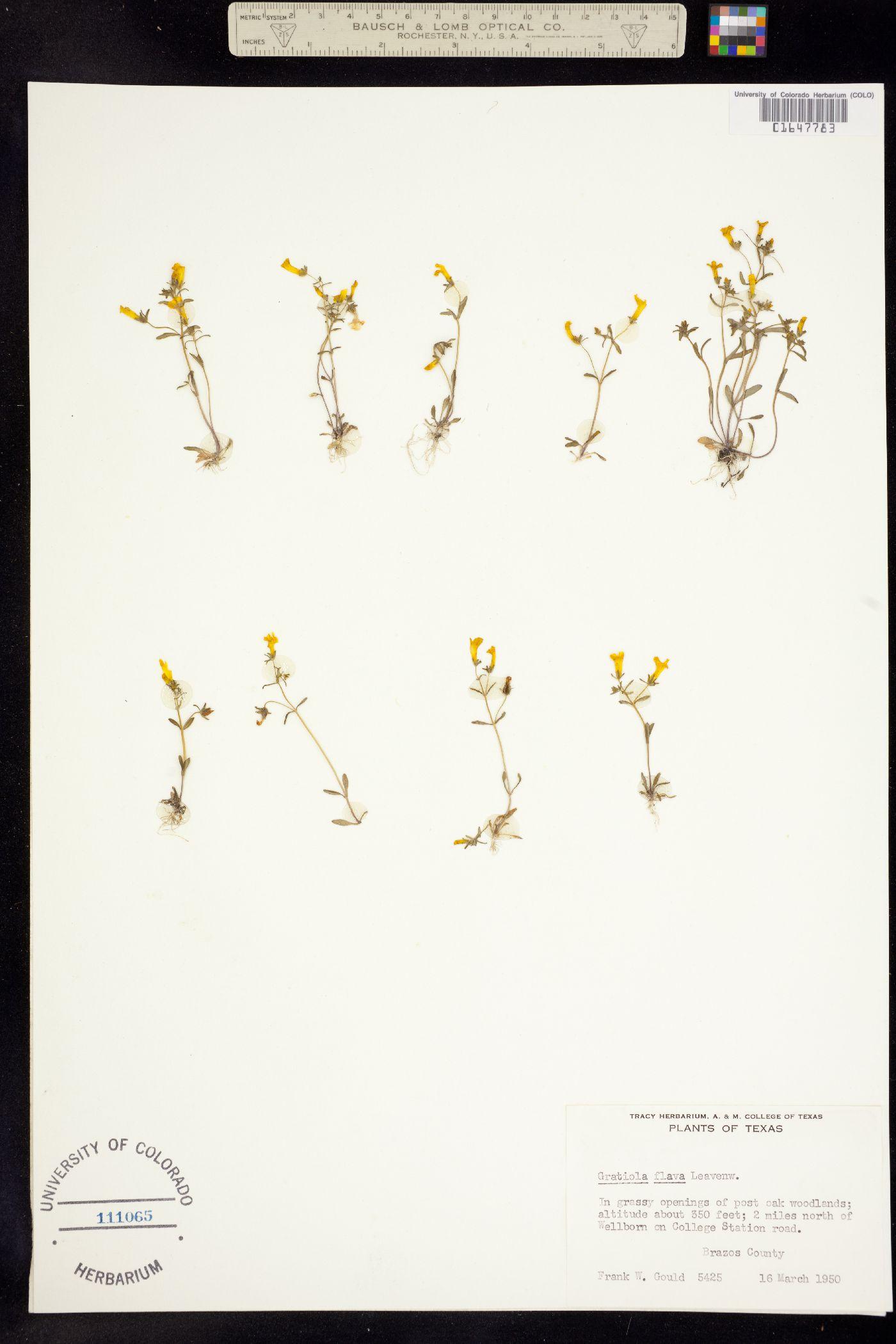 Gratiola flava image