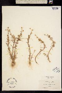 Gratiola ebracteata image