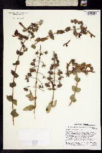 Image of Penstemon cordifolius