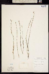 Linaria canadensis image