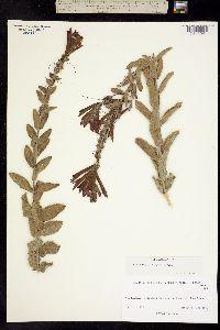 Lamourouxia viscosa image