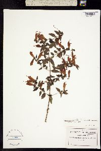 Image of Lamourouxia exserta