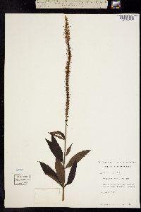 Image of Veronicastrum virginicum